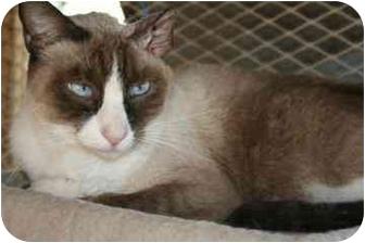 Siamese Cat for adoption in tucson, Arizona - Otis