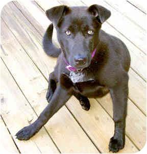 Labrador Retriever Mix Dog for adoption in Spring Valley, New York - Mariah