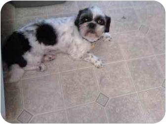 Shih Tzu Dog for adoption in Longmont, Colorado - Buddy and Sammy