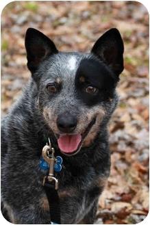 Australian Cattle Dog Dog for adoption in Siler City, North Carolina - Meara