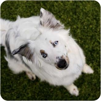 Australian Shepherd/Border Collie Mix Dog for adoption in Mesa, Arizona - Spring