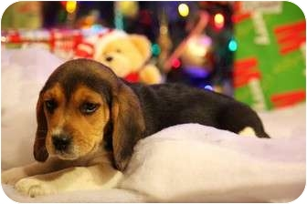 Beagle Puppy for adoption in ST LOUIS, Missouri - Copper