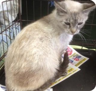 Siamese Cat for adoption in Cincinnati, Ohio - Karma