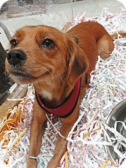Spaniel (Unknown Type)/Golden Retriever Mix Dog for adoption in Mt. Prospect, Illinois - Bindi