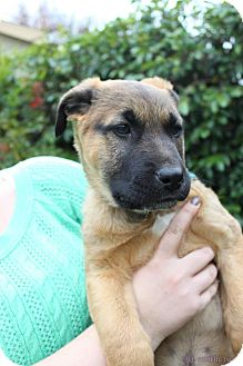 Shepherd (Unknown Type)/Anatolian Shepherd Mix Puppy for adoption in Woodland Hills, California - Schwartz