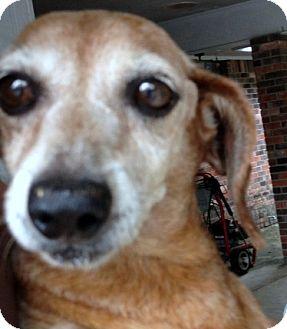Dachshund Dog for adoption in Baton Rouge, Louisiana - Turley