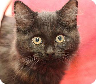 Domestic Mediumhair Kitten for adoption in Winston-Salem, North Carolina - Penny