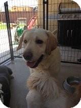 Labrador Retriever Dog for adoption in Las Vegas, Nevada - Max