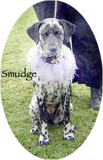 Dalmatian Puppy for adoption in Mandeville Canyon, California - Smudge