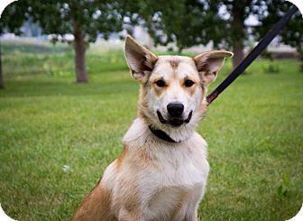 Shepherd (Unknown Type)/Husky Mix Dog for adoption in Saskatoon, Saskatchewan - Odin