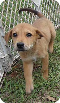 Golden Retriever/Labrador Retriever Mix Puppy for adoption in Jefferson, Texas - Andy