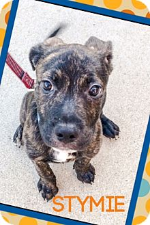 American Staffordshire Terrier/Husky Mix Puppy for adoption in Huntington Beach, California - Stymie