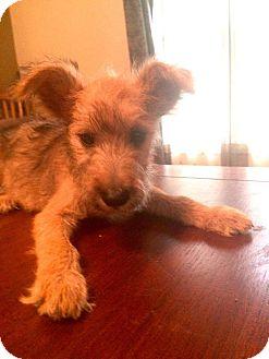 Schnauzer (Miniature) Mix Puppy for adoption in Newtown, Connecticut - Barbecue / Barbie