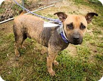 American Staffordshire Terrier/Labrador Retriever Mix Dog for adoption in Darlington, South Carolina - Phil