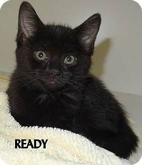 Domestic Mediumhair Kitten for adoption in Lapeer, Michigan - READY--MORE than Ready for you