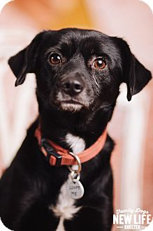 Beagle/Labrador Retriever Mix Dog for adoption in Portland, Oregon - Prometheus