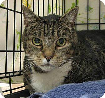 Domestic Shorthair Cat for adoption in Norwalk, Connecticut - Louie