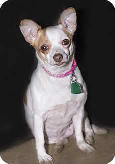Chihuahua Dog for adoption in Brookeville, Maryland - Daisy