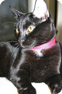 Domestic Shorthair Cat for adoption in Olympia, Washington - 40750
