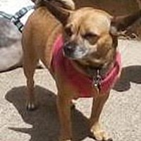 Chihuahua Dog for adoption in Jacksonville, Florida - Chloe
