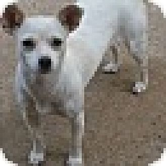 Chihuahua Mix Dog for adoption in Springfield, Virginia - Christabel
