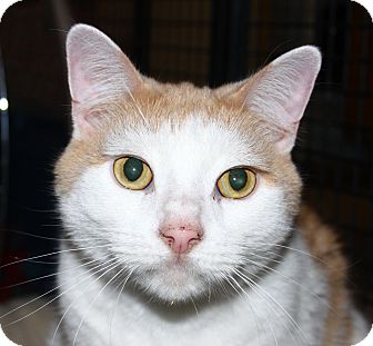 Domestic Shorthair Cat for adoption in North Branford, Connecticut - Riley