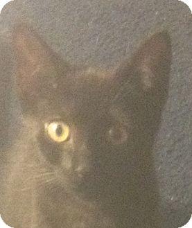Domestic Shorthair Kitten for adoption in Trevose, Pennsylvania - Velvet Sky