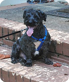 Schnauzer (Miniature)/Poodle (Miniature) Mix Dog for adoption in Lawrenceville, Georgia - Charlie