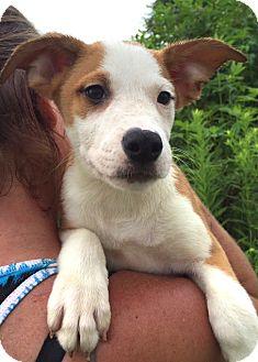 Australian Shepherd/Boxer Mix Puppy for adoption in Medora, Indiana - Asher