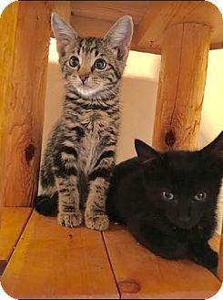 Domestic Shorthair Kitten for adoption in Chicago, Illinois - Tigger
