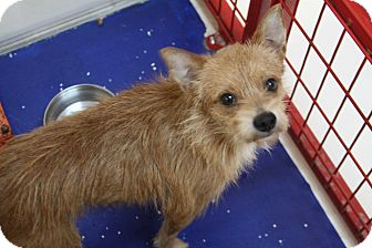 Cairn Terrier/Border Terrier Mix Dog for adoption in Rockwall, Texas - Max