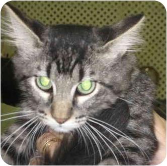 Domestic Shorthair Kitten for adoption in Alden, Iowa - Peter Pan