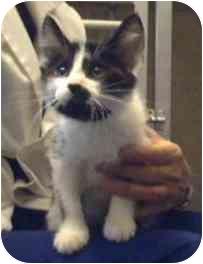 Domestic Shorthair Kitten for adoption in Saanichton, British Columbia - Monkey