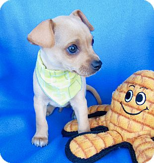 Dachshund/Chihuahua Mix Puppy for adoption in Irvine, California - Buzz