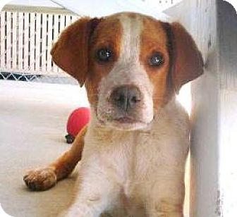 Hound (Unknown Type)/Pointer Mix Puppy for adoption in Lincolnton, North Carolina - Hercules