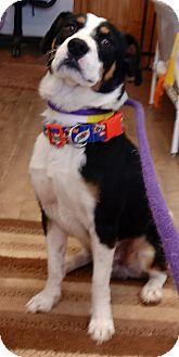 Beagle Mix Dog for adoption in Divide, Colorado - Bennie