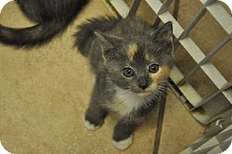 Calico Kitten for adoption in Marlton, New Jersey - Zooey