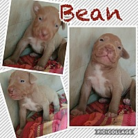 Adopt A Pet :: Bean - Hearne, TX