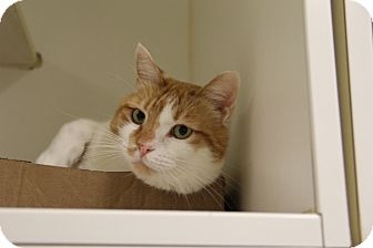 Domestic Shorthair Cat for adoption in Greensboro, North Carolina - Cracker