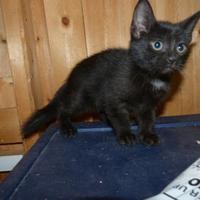 Domestic Shorthair/Domestic Shorthair Mix Cat for adoption in Meadow Lake, Saskatchewan - Crocus
