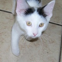 Domestic Shorthair Kitten for adoption in Lacon, Illinois - Parker