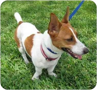 Jack Russell Terrier Mix Dog for adoption in Sugar Land, Texas - Cricket