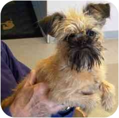 Brussels Griffon Dog for adoption in Osseo, Minnesota - Nora