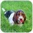 Photo 4 - Basset Hound Puppy for adoption in Vail, Iowa - CHARLIE~~CL~~