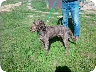 Labradoodle Dog for adoption in Lexington, Kentucky - Harry