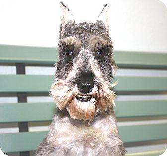 Schnauzer (Miniature) Dog for adoption in Yorba Linda, California - Remington