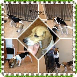 Beagle Mix Dog for adoption in Phoenix, Arizona - Briggs