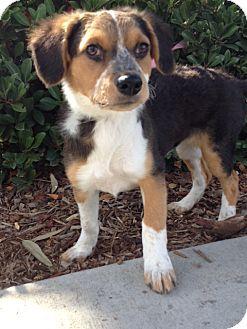 Australian Shepherd/Beagle Mix Puppy for adoption in Corona, California - SYDNEY