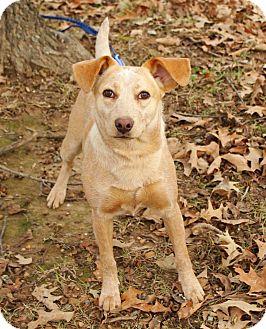 Feist Mix Dog for adoption in Groton, Massachusetts - Pippi