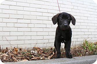 Labrador Retriever/Black and Tan Coonhound Mix Puppy for adoption in Baltimore, Maryland - Charlie